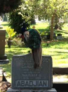One of the many peacocks that roam the cemetery