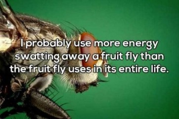 fruit fly 4